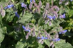 borragine-fiori