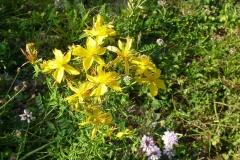 l'erba di san Giovanni: l'iperico scacciadiavoli