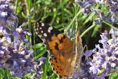 la lavanda in fiore attira centinaia di farfalle