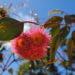 """Silver Princess: il Fiore Australiano simbolo dell'evento  """"Magia di un dolce settembre"""""""